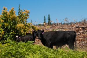 Cattle near Elk Creek Meadows